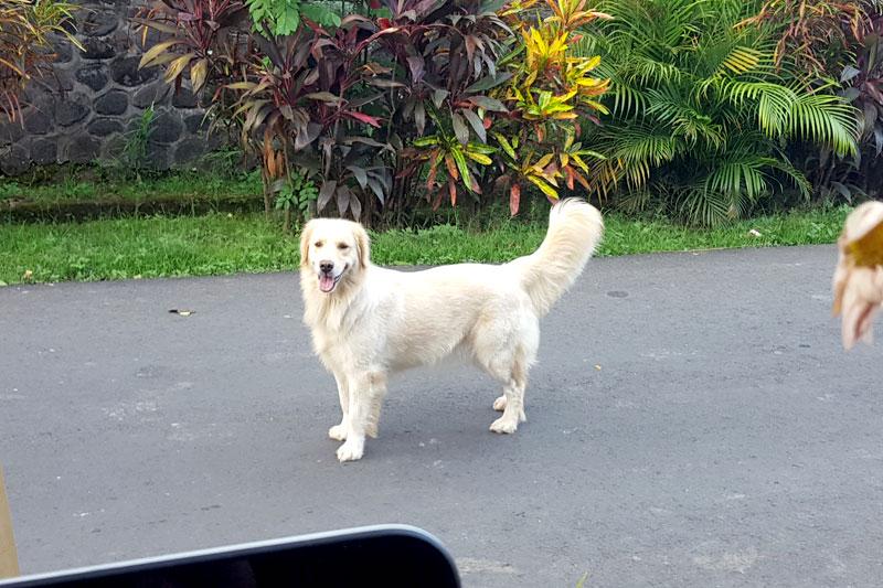 Ubud: Dog