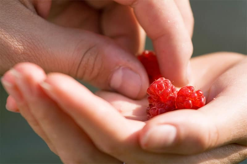 Raspberries in the hand