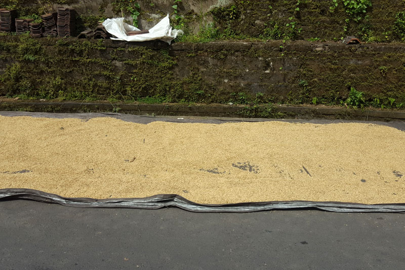 Ubud: Rice being dried in the sun