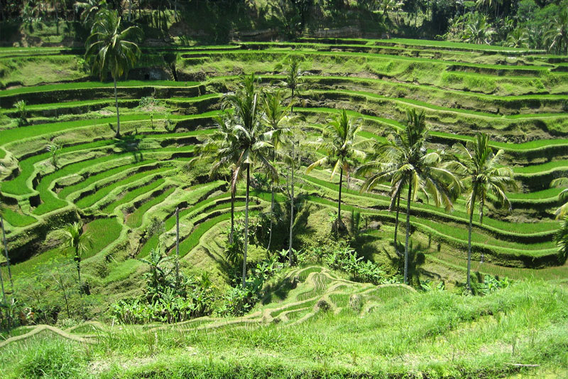 Ubud: Rice field terrace in Tegalalang