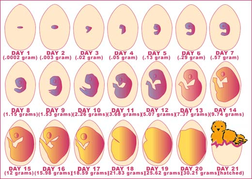 21-Day Development of Chick Embyro
