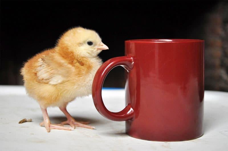 A chick and a mug
