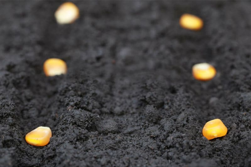 Corn seed, planted on soil