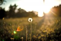 Dandelion in a field, with sunlight