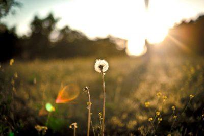 Dandelion in a field, with sunlight