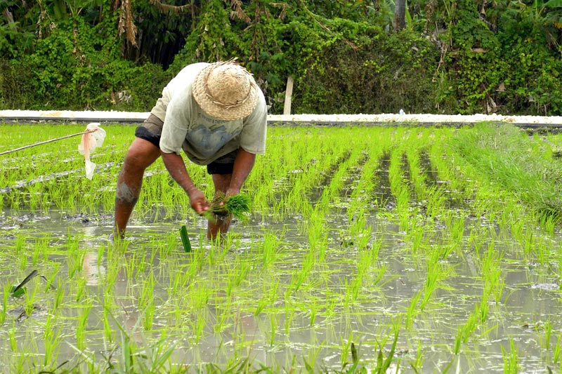 Farmer harvesting rice in a rice paddy field