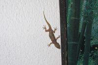 Gecko/Lizard