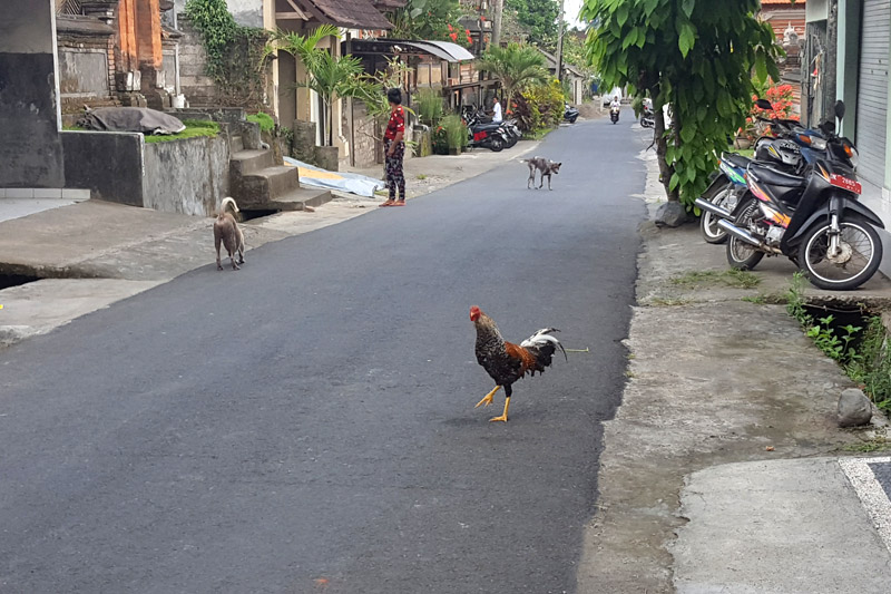 Ubud: Chicken and dogs on the road